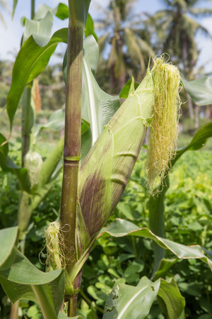 kitchen garden: sweet corn growth in kitchen garden