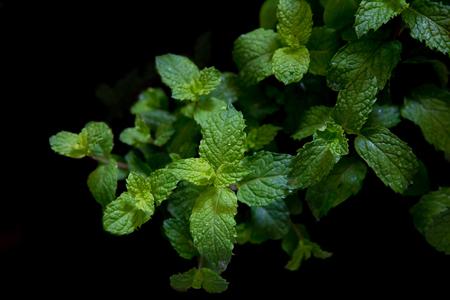 field mint: fresh mint in field on black background Stock Photo