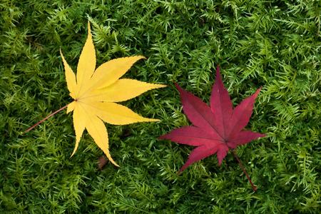maple leaf on green background Japan autumn season 免版税图像