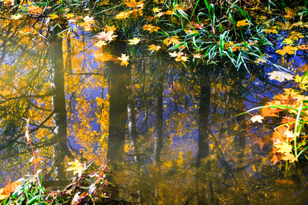 Autumn reflections in park pond surface with floating yellow leaves in Pavlovsk park with clear water and green grass.