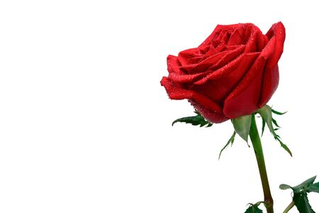 Red rose flower with drops of morning dew, closeup isolated on white background with copy space.