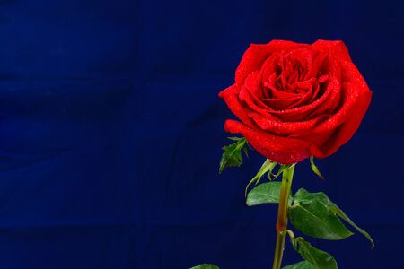 Red rose flower with drops of morning dew, close up on blue velvet background with copy space.