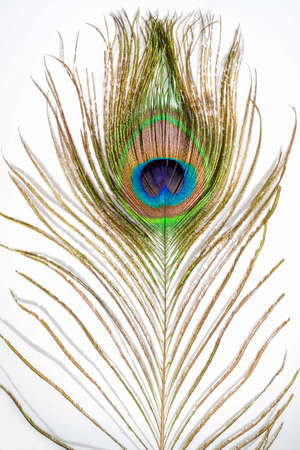 Peacock feather. Colorful feather from tail with eye. Close up on white background.