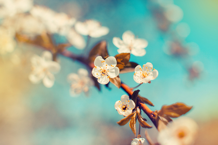 Cherry blossoms in spring. Period flowering and awakening of nature.