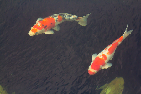 Fancy carp fish In the pond.