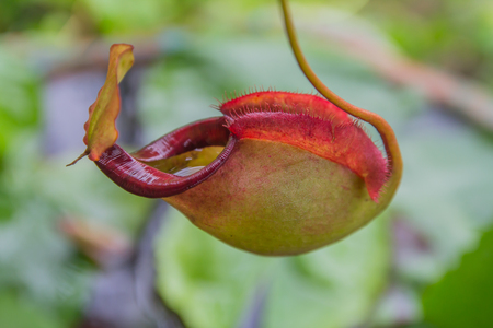 Nepenthes plant eat Insectivorous.