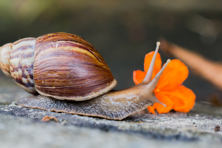 Snail on the cement floor with orange flowers, Select focus. Archivio Fotografico - 104875680