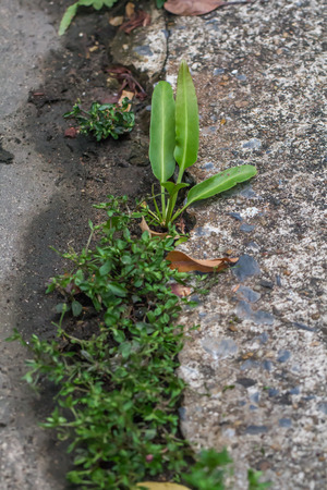Green plant growing between the crevices of old cement ground background.