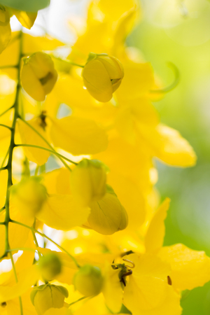 Closeup  beautiful yellow flowers native plants of South Asia. Archivio Fotografico - 104875684