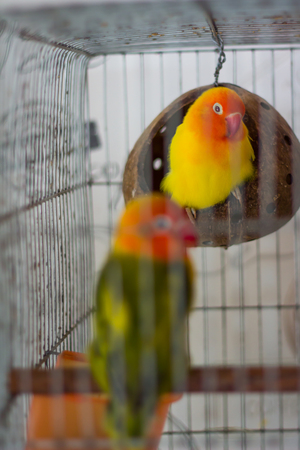 Colorful birds in the cage. Archivio Fotografico - 104875687
