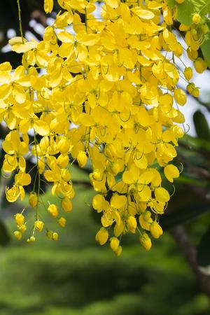 Closeup  beautiful yellow flowers native plants of South Asia.