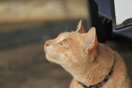 Portrait of thai Orange cat.