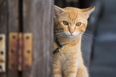 Thai Orange cat cute,clean and lovely Portrait animal.