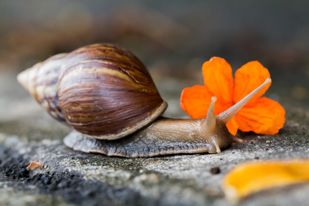 Snail on the cement floor with orange flowers, Select focus.