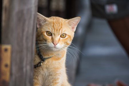 Thai Orange cat cute,clean and lovely Portrait animal.