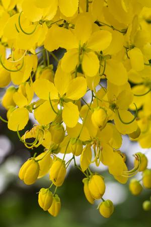Closeup  beautiful yellow flowers native plants of South Asia. Archivio Fotografico - 104550791