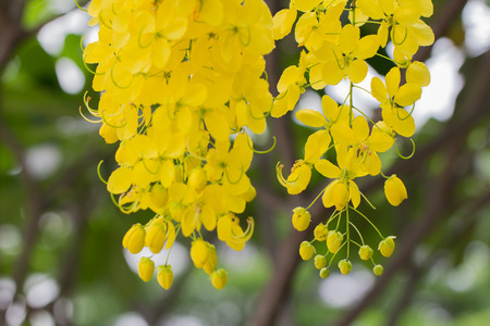 Closeup  beautiful yellow flowers native plants of South Asia. Archivio Fotografico - 105399632