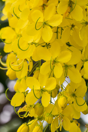 Closeup  beautiful yellow flowers native plants of South Asia.