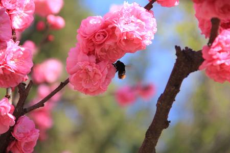 Peach blossom in full bloom