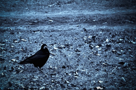 Crow on withered grass.  photo