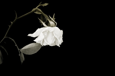 Closeup of withered rose. Isolated on black background photo