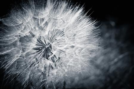 Closeup of the dandelion. Cyan toned photo