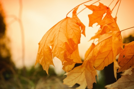 sear and yellow leaf: Autumnal landscape: dry yellow leaves against the sunset sky
