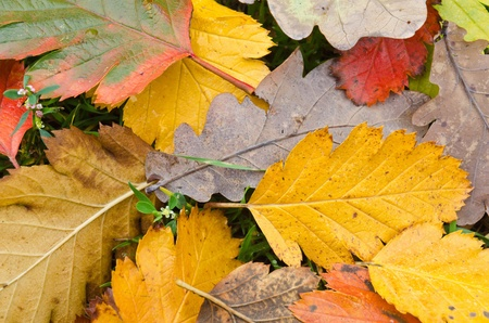 sear and yellow leaf: Autumn leaves lying on the ground