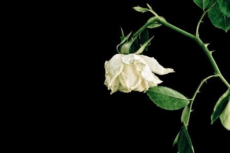 flores secas: Primer plano de la rosa marchita, aisladas sobre fondo negro