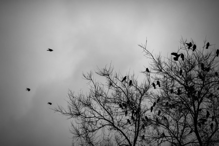 the crows: A lot of crows sitting on a leafless tree. Black and white