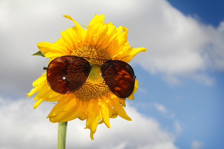 stamen wasp: Sunglasses and sunflower on blue sky Stock Photo