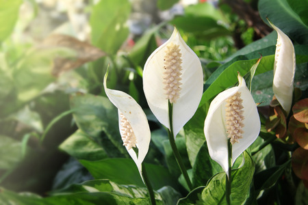 spadix: white spadix flowerin garden fresh Stock Photo