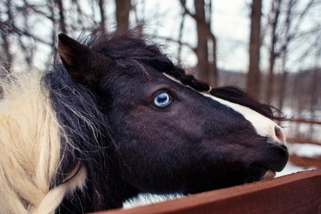 Blue-eyed piebald pony with braided mane on winter farm close-up