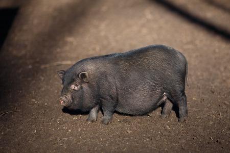 Black Vietnamese pig on the farm yard. Animal life, people and d Banco de Imagens
