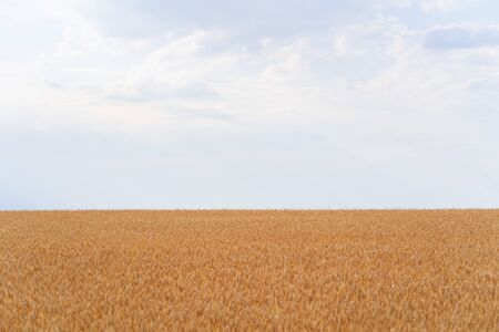 Wheat field and blue sky, countryside, harvest