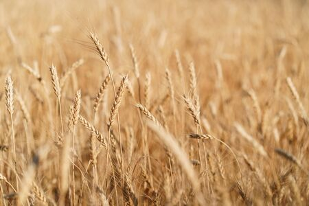 Wheat field at sunset, countryside, harvest Stok Fotoğraf