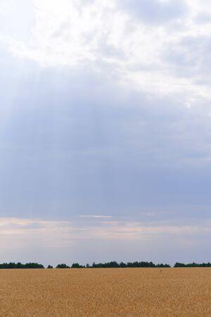 Rain clouds over wheat field Stok Fotoğraf