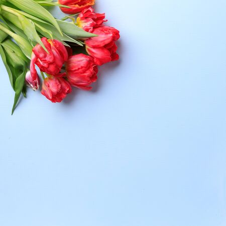 Spring season abstract background. Red tulips bouquet on blue surface. Mothers day, Women day, seasonal concept. Copy space.