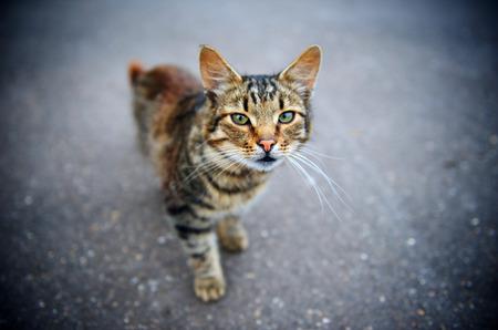 eyes green: Poca profundidad horizontal del campo retrato de un gato de pie en la carretera de hormig�n y mirando a la c�mara con ojos verdes vivos.