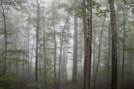 Horizontal landscape of a fog covered forest with birches and green leaves in the foreground. photo