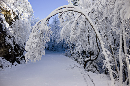 bent over: Snow-covered bough bent over a winter road in the woods.