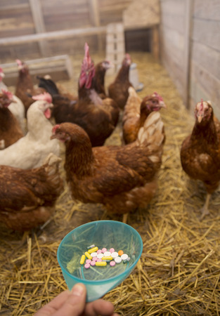 Hens are offered bowl with multicolored pills. No animals were injured or harmed in the making of this picture.
