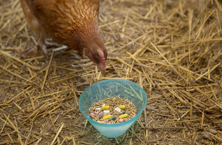 Hen looking curiously into the bowl with mix of grains and multicolored pills. No animals were injured or harmed in the making of this picture.