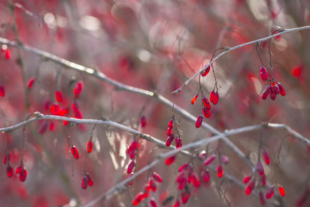 barbery: Horizontal close-up of barberry branches. Stock Photo