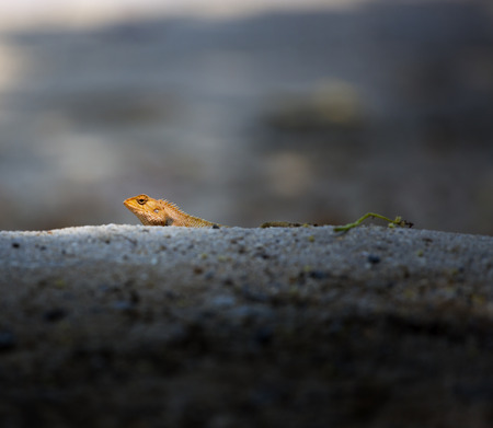 mesmerize: Closeup if an orange lizard hiding in the dunes of a secluded beach. Stock Photo