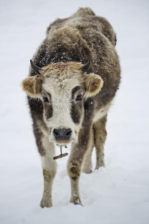 vacas lecheras: vaca rizado en la nieve. Georgia. Svaneti Foto de archivo