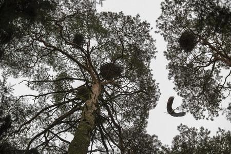 red beak: Flying red beak heron among the trees with birds nests Stock Photo