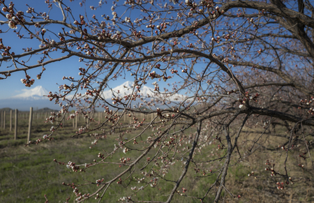 apricot tree: Incredible view on Ararat Mount and vineyards through the branches of blossom apricot tree. Armenia.