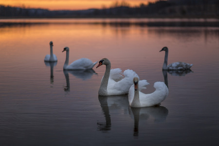 Group of swans on the lake with a wonderful sunset. Stock Photo