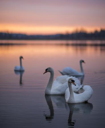 sunset lake: Group of swans on the lake with a mirror reflection during the beautiful sunset. Stock Photo